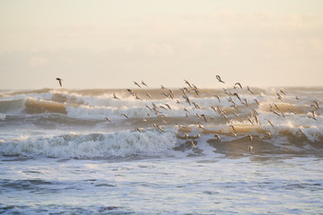 A group of sanderlings in flight early in the morning. The light is hitting the crashing waves at an angle, and the sky is a hazy yellow.