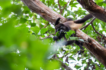 Howler Monkey in Nicaragua