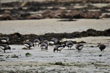 Groupe d'oies Bernaches cravant sur la côte bretonne
