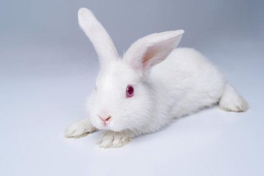White rabbit on a light gray background.