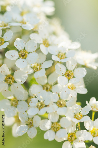 Bright Botanical Closeup Of A Branch With Tiny White Apple Flowers
