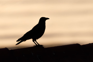 bird silhouette during sunset or sunrise. the shape is black and the sky is purple yellow and orange. the bird is flying. crow peregrine falcon hawk