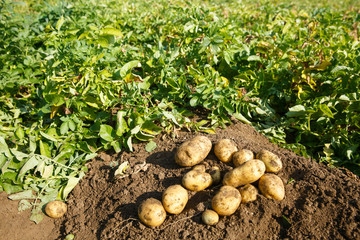 Pile of freshly dug potatoes on a field