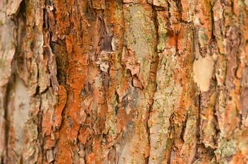 Baumrinde mit Grünalge, Trentepohlia aurea