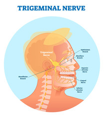 Trigeminal nerve anatomical vector illustration diagram with human head cross section.