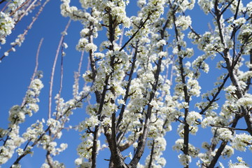 Blooming pear fruit tree in the suburbs of Dallas, Texas during spring time against a clear blue sky