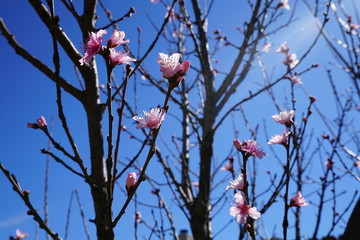 Peach tree with pink blossoms against the clear blue spring sky in the suburbs of dallas, texas