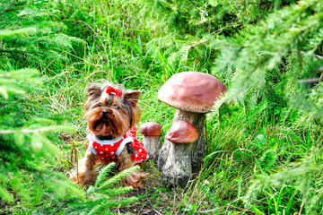 Small lovely Yorkshire terrier puppy next to mushrooms in forest on summer day.