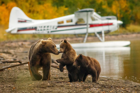 Mama bear walking with her two cubs on the beach of Naknak lake, Alaska