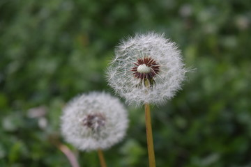 White Dandelion with missing seeds