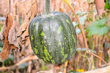 Green Fresh Juicy Pumpkin