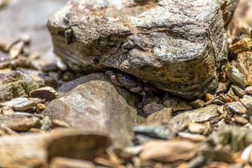 Crab hiding under a rock