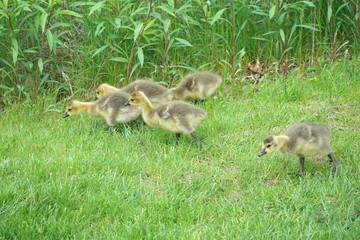 Canada goose goslings walking on the green meadow