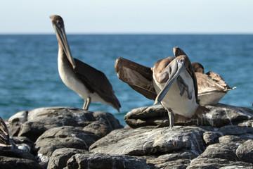 California Brown Pelican scratching an itch