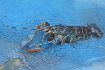 Blue crayfish - Fresh water Lobster