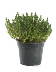 thyme growing in pot isolated