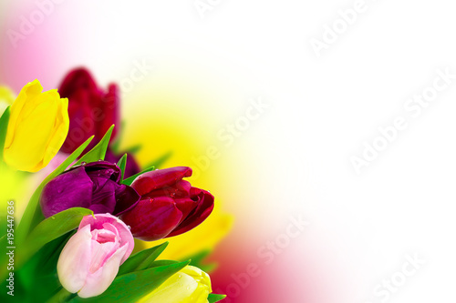 tulip colorful flower blooming panoramic on white greeting card