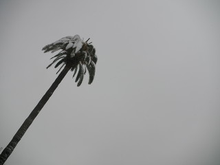 Palm tree covered in snow with white cloudy sky on background