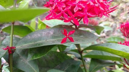 saraca indica, Ashoka flower