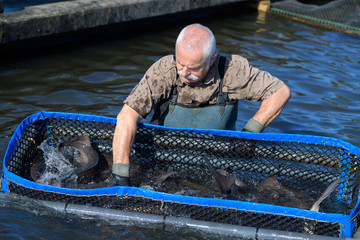 man trying to catch fishes at a fish farm