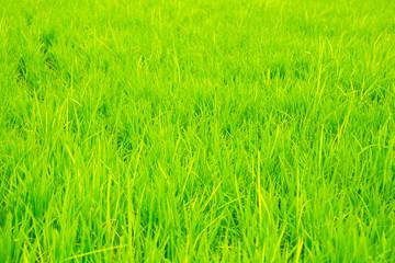 Green rice field background in Korea