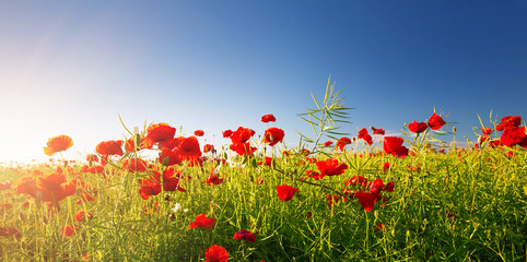 Wall Mural - Beautiful poppy flowers on the field at sunset