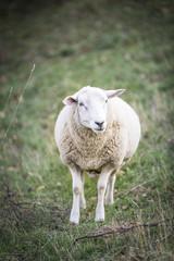 Tuinposter Schapen sheeps standing in the pasture.