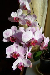 A pink and white orchid