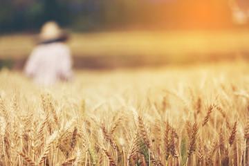 Farmer harvest Beautiful Barley Field in period Barley field detail.