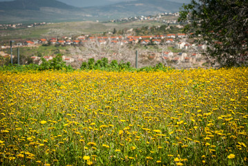 Magical landscape of green hills with yellow flowers and a village. Golan Height, Northern Israel.