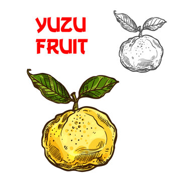 Yuzu vector sketch citrus fruit cut icon