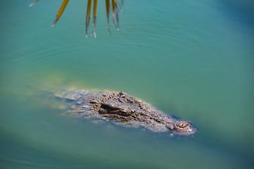 Door stickers Crocodile Krokodil schwimmt im Wasser