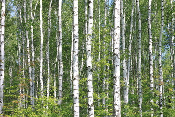 Beautiful young birch trees with green leaves in summer in sunny weather