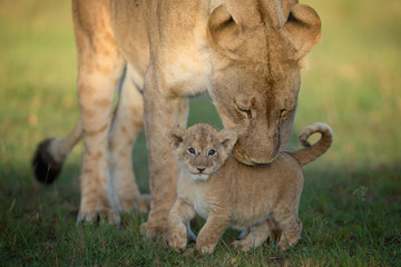 Lioness with cub in Maasai Mara National Reserve
