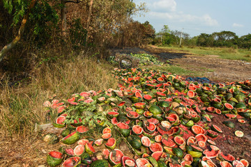 Waste watermelon pile is rotten. Smelly and flies