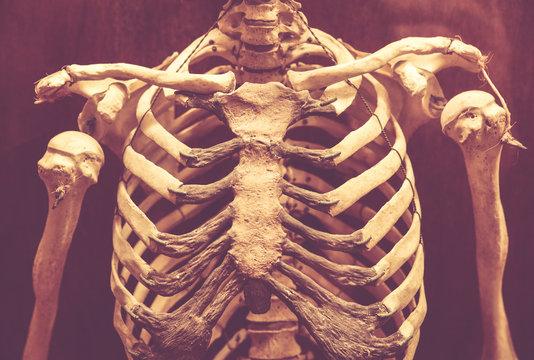 Human Rib Cage Photos Royalty Free Images Graphics Vectors Videos Adobe Stock