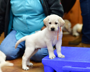 Little Yellow Labrador Retriever Puppy Playing in the House with visitors