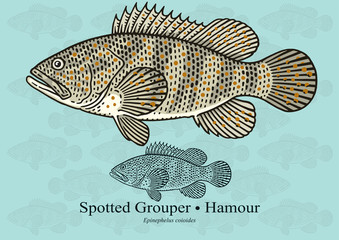 Spotted Grouper, Reef cod. Vector illustration with refined details and optimized stroke that allows the image to be used in small sizes (in packaging design, decoration, educational graphics, etc.)