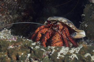Hermit crab (Dardanus megistos). Panglao Island, Philippines