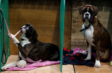 A Boxer pulls on a lead during the first day of the Crufts Dog Show in Birmingham