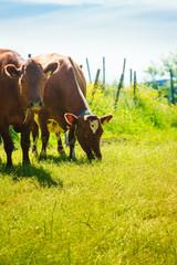 Cows graze on green meadow field.