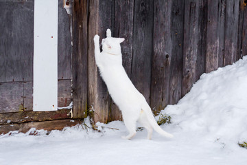 White cat sharpens claws against a wooden fence