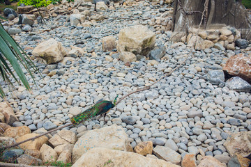 Peacock is living in the cave. Male Indian peafowl or blue peafowl Pavo cristatus , a large and brightly colored bird, is a species of peafowl native to South Asia.