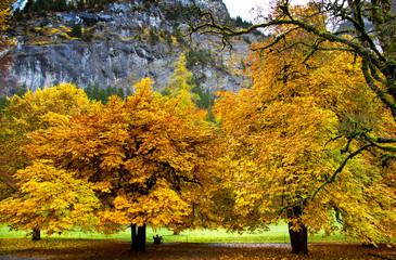 Yellow maple trees at Trummelbach fall