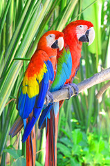 Two bright parrots Ara sitting on a tree branch in the jungle.