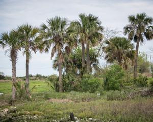 Island of Florida Palms