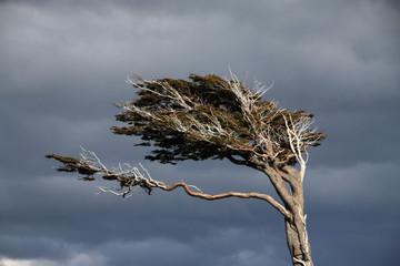Fototapeta zdeformowane drzewo ukształtowane przez wiatr obraz