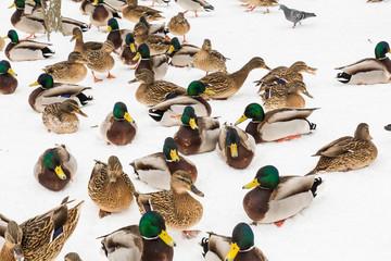 Mallard ducks in the snow in the city Park. Winter day.