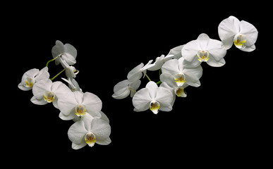 beautiful white orchid branch isolated on black background
