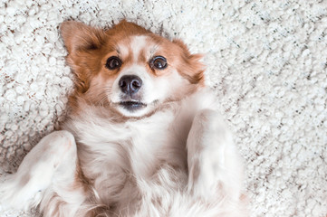 dog breed corgi lies on his back and looks into the camera